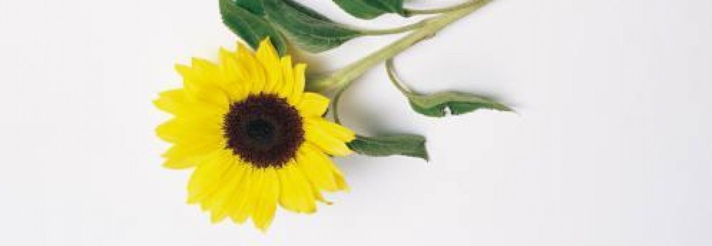 cropped-sunflower-1.jpg